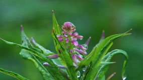 Fireweed blossoms with rain droplets stock video