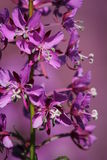 Fireweed Blossoms Stock Photos