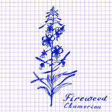 Fireweed. Botanical drawing on exercise book background. Medical herbs Royalty Free Stock Images