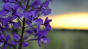 Fireweed in the breeze at sunset stock video