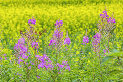 Fireweed and Canola Royalty Free Stock Image