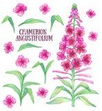 Fireweed chamerion angustifolium Zdjęcie Royalty Free