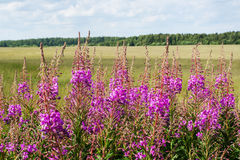 Fireweed (chamerion angustifolium) Royalty Free Stock Photos