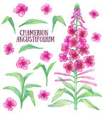 Fireweed chamerion angustifolium. Rosebay willowherb aquarelle illustration Royalty Free Stock Photo