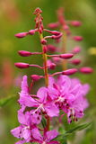 Fireweed Closeup in Full Bloom Royalty Free Stock Image