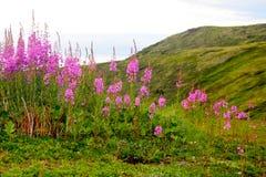 Fireweed d'Alaska image libre de droits