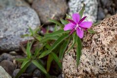 Fireweed do anão Fotografia de Stock