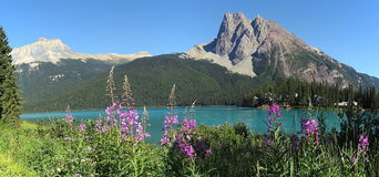 Fireweed at Emerald Lake, Yoho National Park, British Columbia. Mount Burgess towers above the turquoise glacial waters of Emerald Lake in Yoho National Park Royalty Free Stock Photography