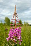 Fireweed (epilobium angustifolium) Royalty Free Stock Images