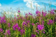 Fireweed (Epilobium ή angustifolium Chamerion) Στοκ φωτογραφία με δικαίωμα ελεύθερης χρήσης