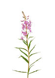 Fireweed (Epilobium angustifolium) Stock Images