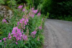 Fireweed Epilobium angustifolium with purple flowers Royalty Free Stock Photo