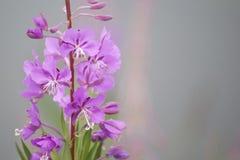 Fireweed (Epilobium angustifolium) Royalty Free Stock Image