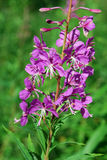 Fireweed (Epilobiumangustifolium) Royaltyfria Bilder