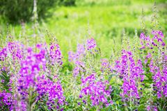 fireweed field royalty free stock photo