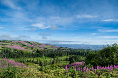 Fireweed Fields навсегда Стоковая Фотография RF