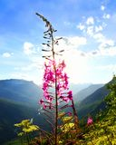 Fireweed plant at sunset at Glacier National Park Royalty Free Stock Photography