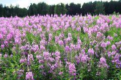 Fireweed flowers. Fireweed blooming in summer in Siberia Stock Photos