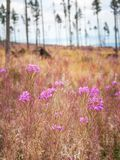 Fireweed flowers in a foreground of the landscape. royalty free stock photography