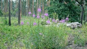 Fireweed flowers in a forest. With bumblebees on them. Chamerion angustifolium stock footage