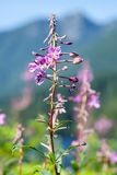 Fireweed flowers growing beside mountain lake Stock Images