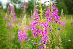 Fireweed flowers in the meadow Stock Photos