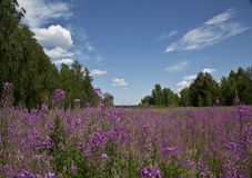Fireweed flowers, sky, forest and clouds - this summer. Royalty Free Stock Images