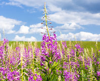 Fireweed flowers in summer Royalty Free Stock Photo