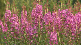 Fireweed flowers Royalty Free Stock Photo