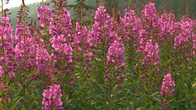 Fireweed flowers Stock Image