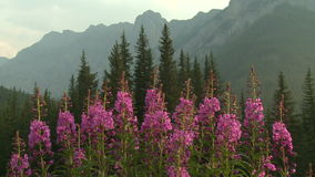 Fireweed flowers Royalty Free Stock Photography