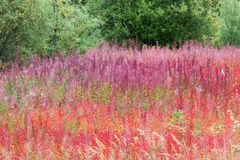 Fireweed Royalty Free Stock Image