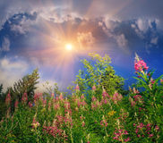 Fireweed grows Royalty Free Stock Photography