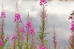 Fireweed grows on the waterfront Royalty Free Stock Image