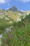 Fireweed in High Tatras Mountains Stock Photography