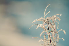 Fireweed with Hoar Frost Stock Photos