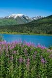 Fireweed i jezioro w Alaska Obraz Stock