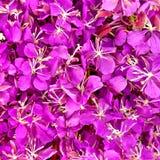 fireweed kwiatów tekstura Zdjęcia Stock