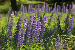 Fireweed and Lupine in New England Stock Image