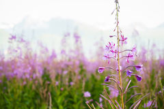 Fireweed. With mountains in the background Stock Photography