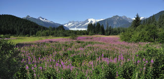 Fireweed Mountains and Trees Alaska Royalty Free Stock Photo
