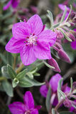 Fireweed nain Photo stock