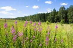 Fireweed nel campo Immagini Stock