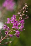 Fireweed in the rain in summer Royalty Free Stock Photos