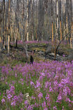 Fireweed. Regrowth of a forest after a forest fire Stock Images