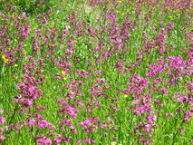 Fireweed Rosebay Chamerion Angustifolium луга Верб-травы Стоковые Фото