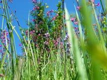 Fireweed Rosebay Chamerion Angustifolium луга Верб-травы Стоковые Фотографии RF