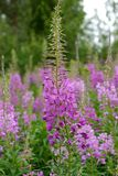 Fireweed Rosebay Willowherb, Epilobium angustifolium Royalty Free Stock Photography