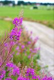 Fireweed in scandinavian summer landscape Royalty Free Stock Image