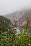 Fireweed scenic Royalty Free Stock Photo